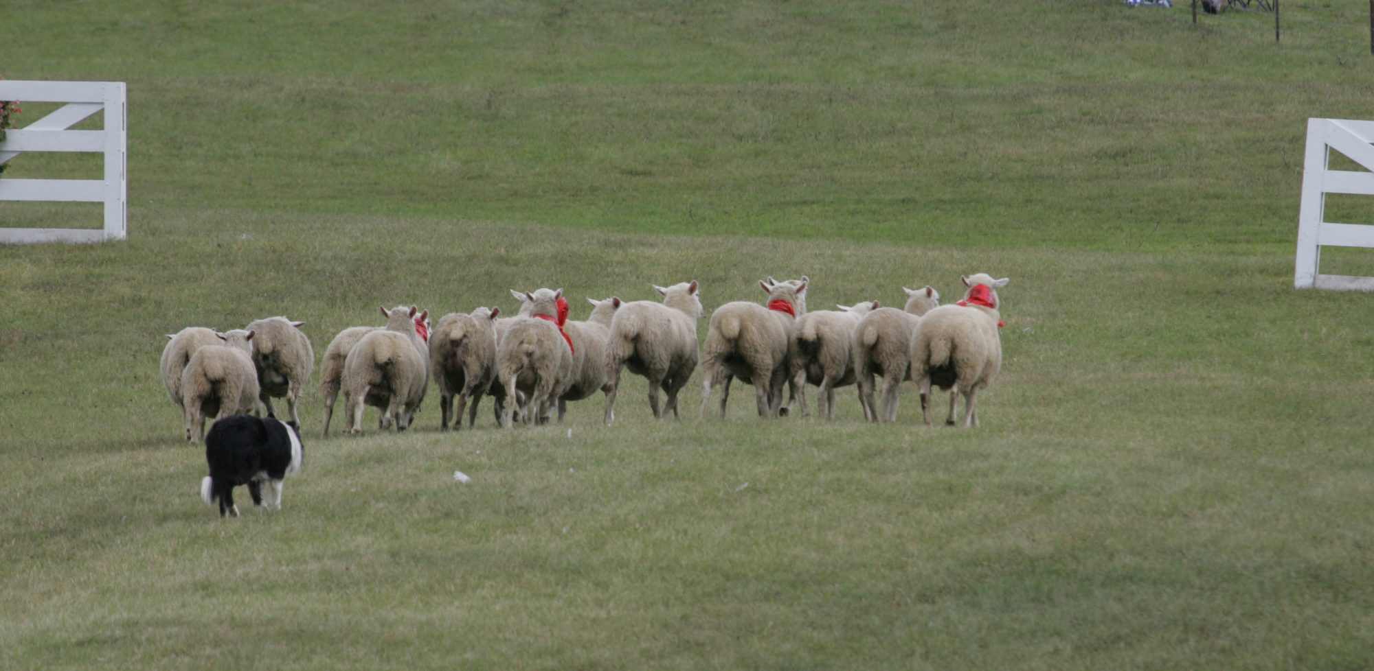 Leatherstocking Sheepdog trials